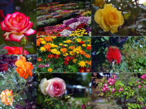 FleursIrisiades